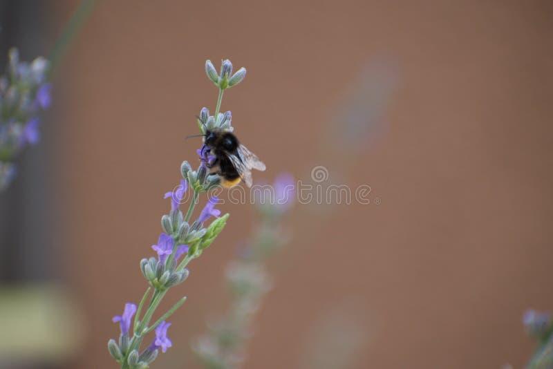 Fleur pourpre de lavande avec une abeille images libres de droits