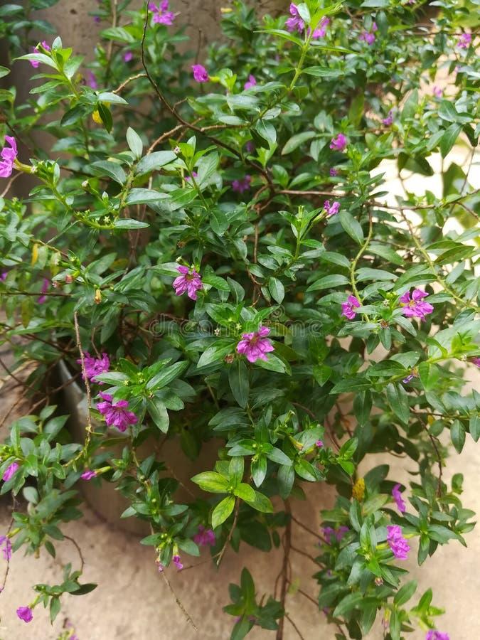 Fleur pourpre de nature de jardin image libre de droits