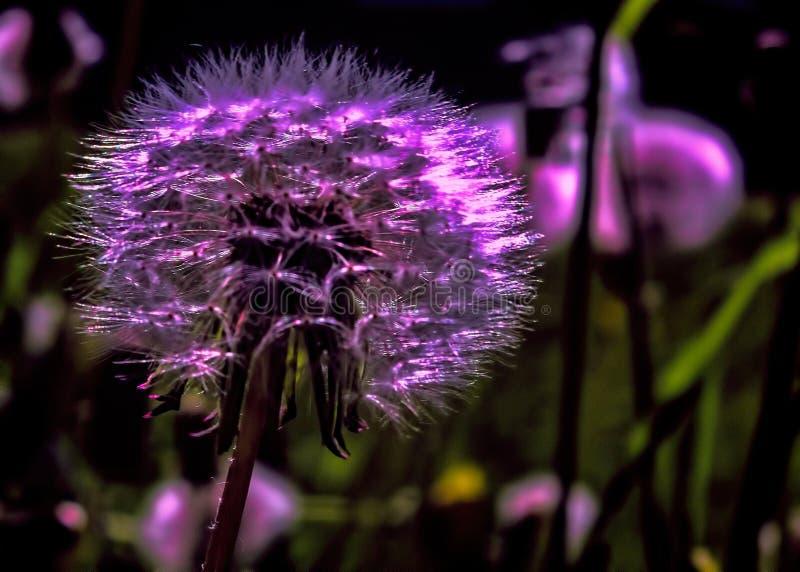 Fleur pourpre de pissenlit photographie stock