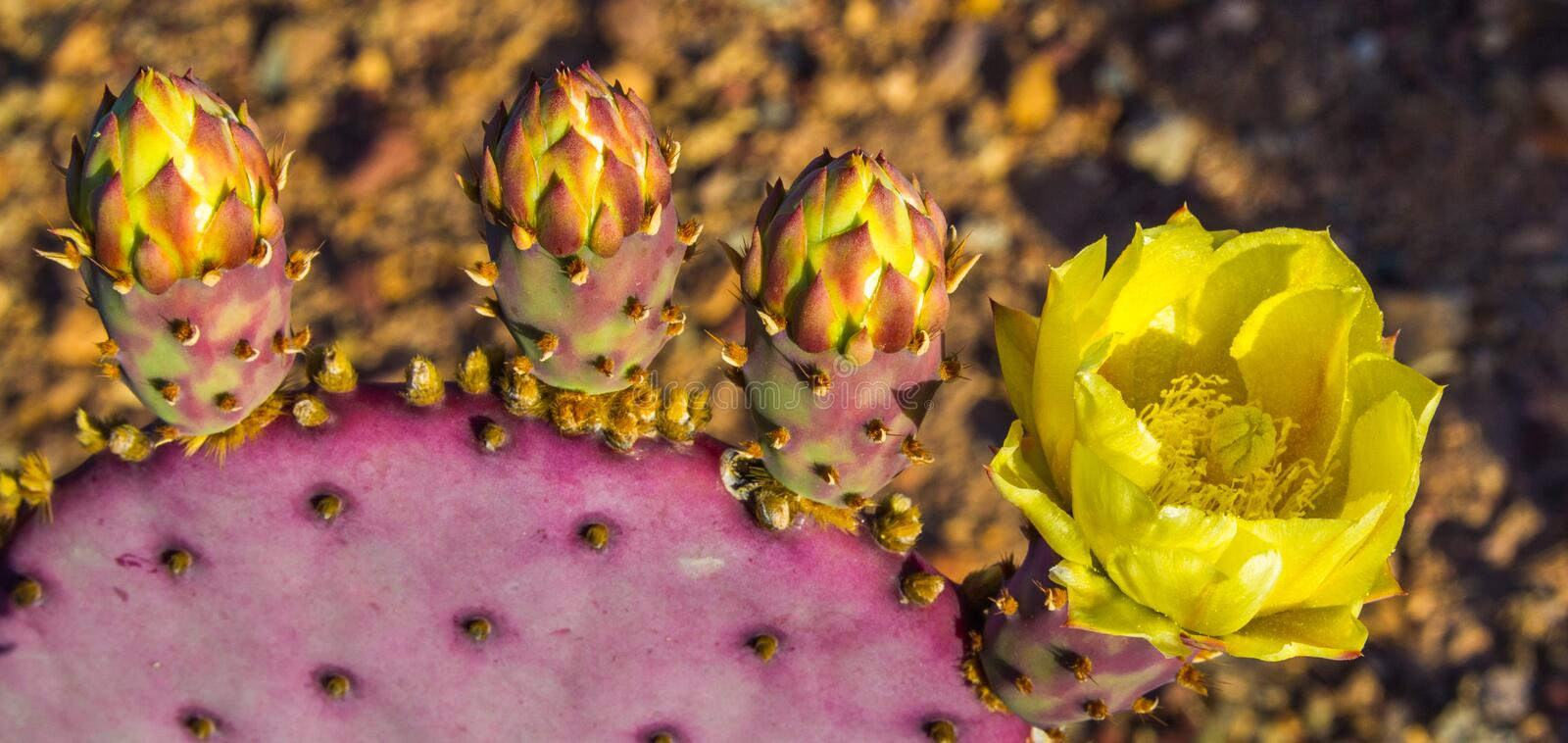 Fleur pourpre de Pricklypear images stock