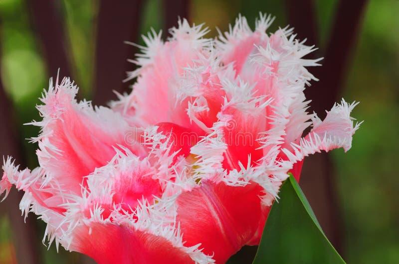 Fleur pourpre de tulipe photo libre de droits