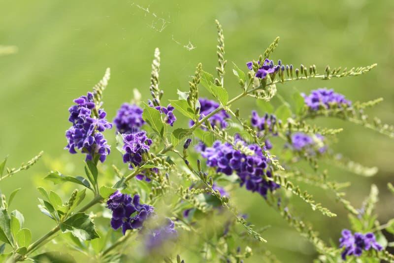 Fleur pourpre en gros plan de flore sur le fond vert de nature dans le jardin Position dessus en bas à gauche de l'image photographie stock libre de droits