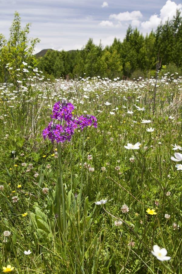 Fleur pourpre en mer des fleurs blanches images libres de droits