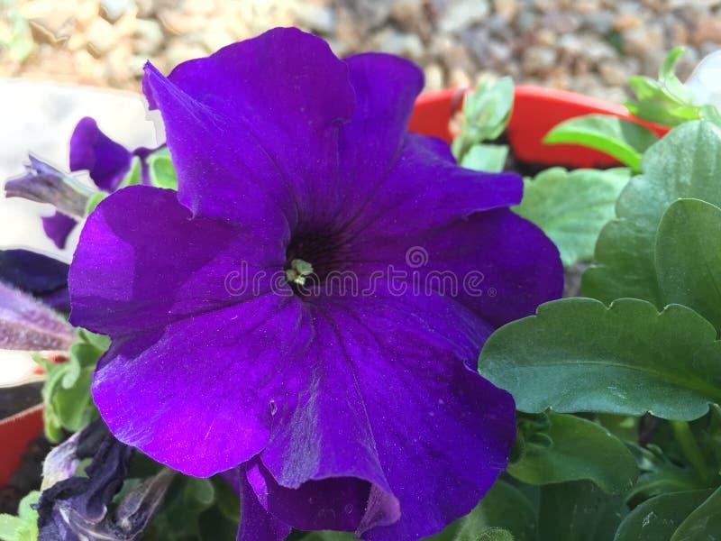 Fleur pourpre fleurissant dans le jardin photos libres de droits