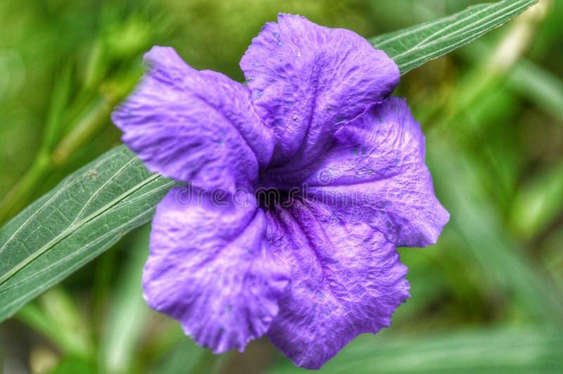 Fleur pourpre mignonne image libre de droits