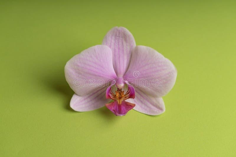 Fleur pourpre pâle sensible d'orchidée sur un fond coloré image stock