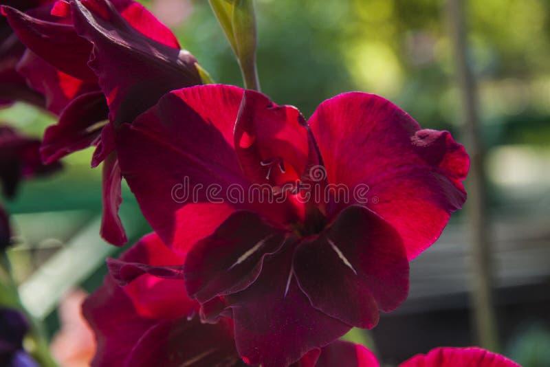 Fleur pourpre rouge de glaïeul d'été lumineux, plan rapproché photos libres de droits