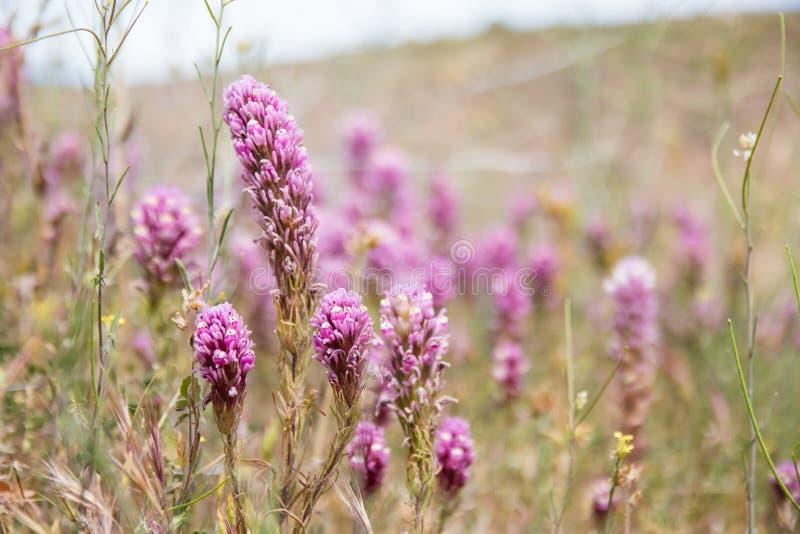 Fleur pourpre sauvage en montagnes image libre de droits