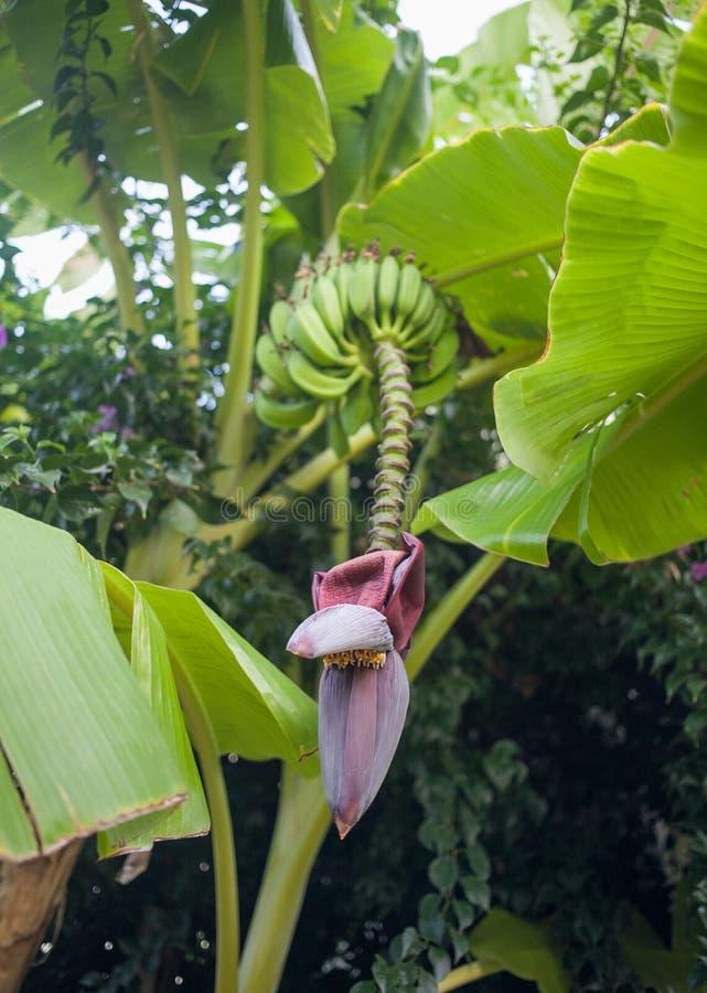 Fleur prédatrice de banane image libre de droits