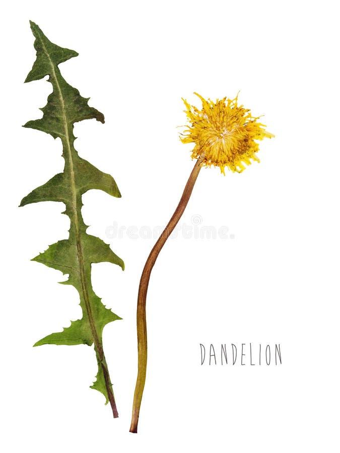 Fleur pressée et sèche de pissenlit photographie stock libre de droits