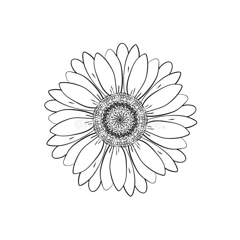 Fleur principale de marguerite ouverte de pétales Dessins floraux de botanique Ligne noire et blanche art Abr?gez le fond floral  illustration libre de droits