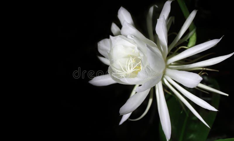 Fleur rare de reine de nuit image libre de droits