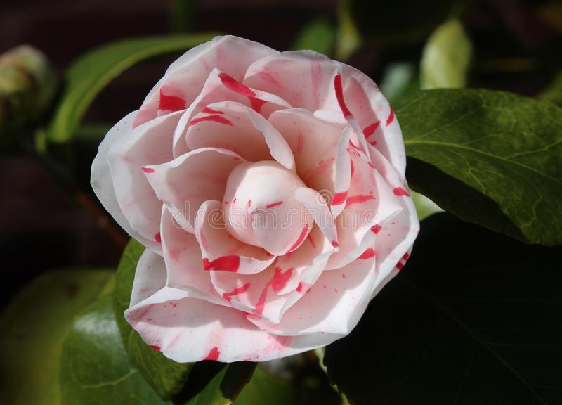 Fleur rayée blanche et rose de camélia image libre de droits