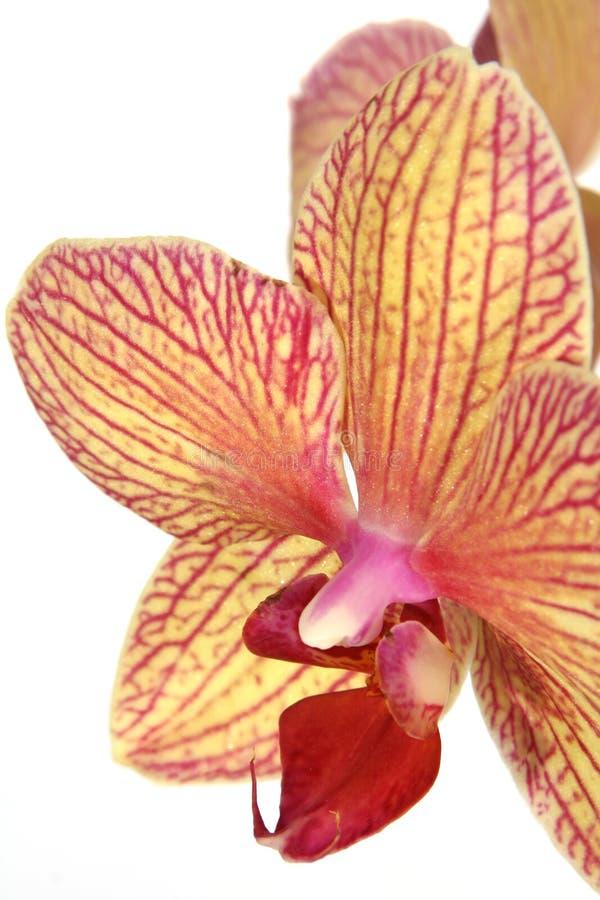 Fleur rayée d'orchidée image stock