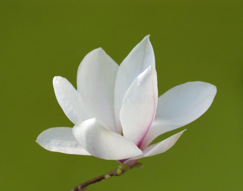 Fleur renversante de magnolia photo libre de droits