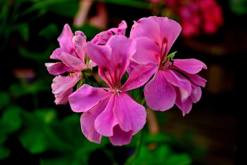 Fleur rose à l'arrière-plan coloré image libre de droits