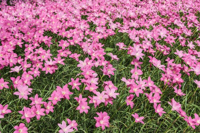 Download Fleur rose photo stock. Image du floral, nuage, copie - 56489676