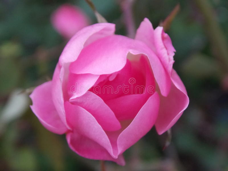 Fleur rose image libre de droits