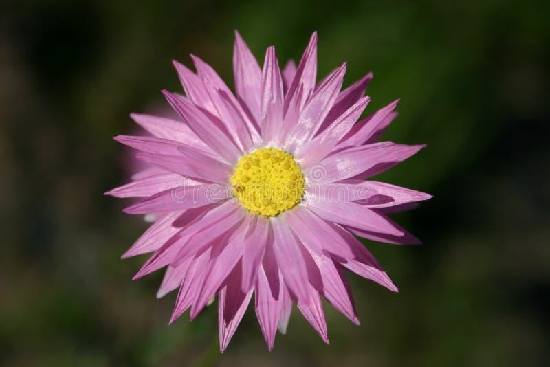 Download Fleur rose image stock. Image du groupe, nature, épanouissement - 88319