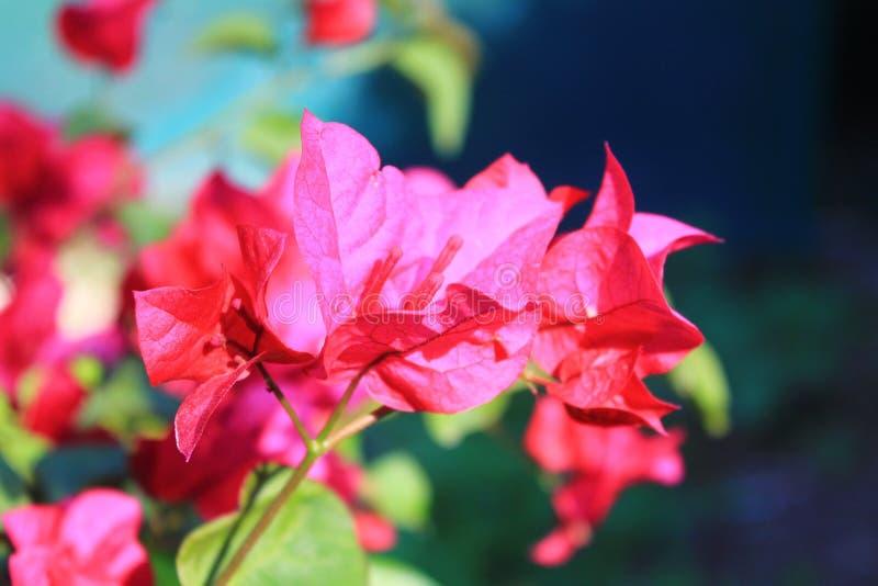 Fleur Rose fotografia de stock royalty free