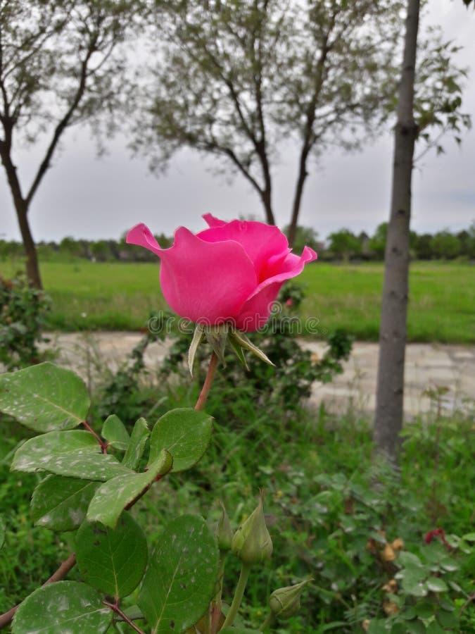 Fleur rose photos stock