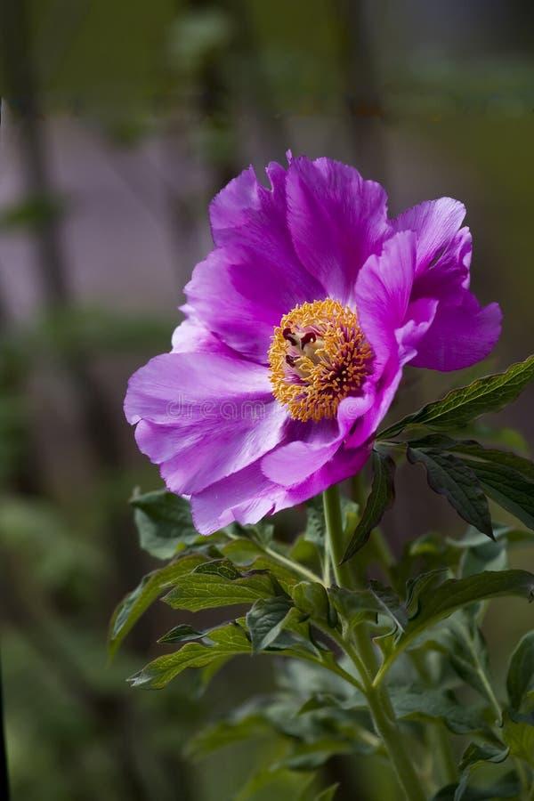 Fleur rose après pluie images libres de droits