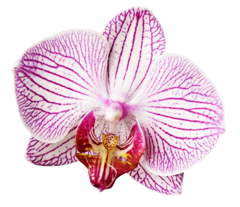 Fleur rose-blanc-jaune d'orchidée D'isolement sur le fond blanc avec le chemin de coupure closeup Fleur bringée de Motley grande photo libre de droits
