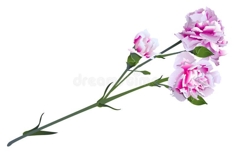 Fleur rose blanche d'oeillet sur le bouquet vert de tige illustration de vecteur