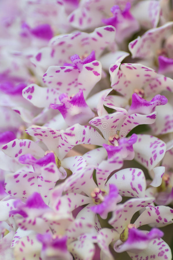 fleur rose blanche d'orchidée image libre de droits