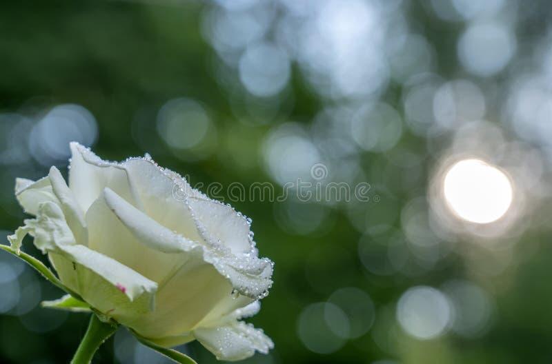 Fleur rose blanche dans des baisses de rosée en gros plan sur le fond de la verdure brouillée et du soleil faisant sa voie par photographie stock libre de droits