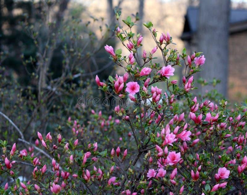 Fleur rose Bush au crépuscule image libre de droits