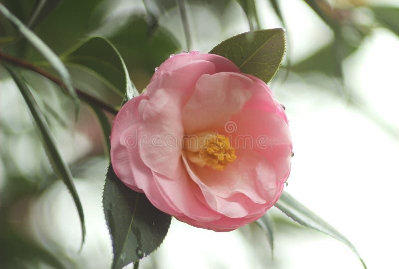 Fleur rose-clair de camélia photographie stock
