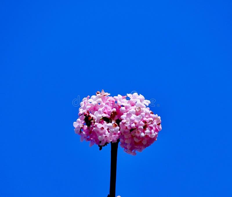 Fleur rose-clair de Kwanzan avec le fond de ciel bleu image libre de droits