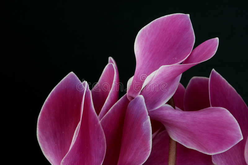Fleur rose complexe photographie stock