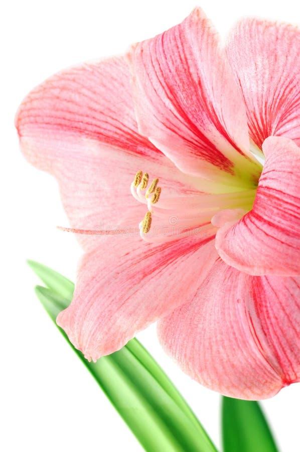 Download Fleur Rose D'amaryllis Sur Le Fond D'isolement Par Blanc Image stock - Image du isolement, normal: 76078141