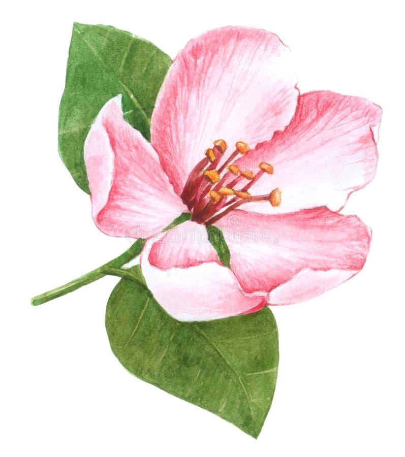 Fleur rose d'aquarelle, sur le fond blanc illustration libre de droits
