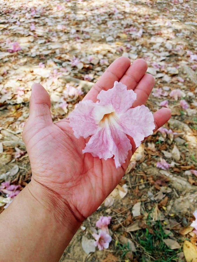 Fleur rose d'arbre de trompette tenant dessus la main humaine avec beaucoup de fleurs de rose sur le fond au sol photos stock