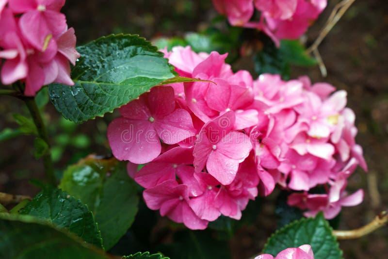 Fleur rose d'hortensia dans le jour pluvieux, jardin photographie stock