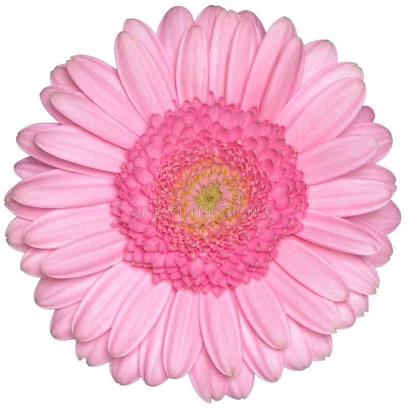 Fleur rose d'isolement de marguerite de gerbera images libres de droits