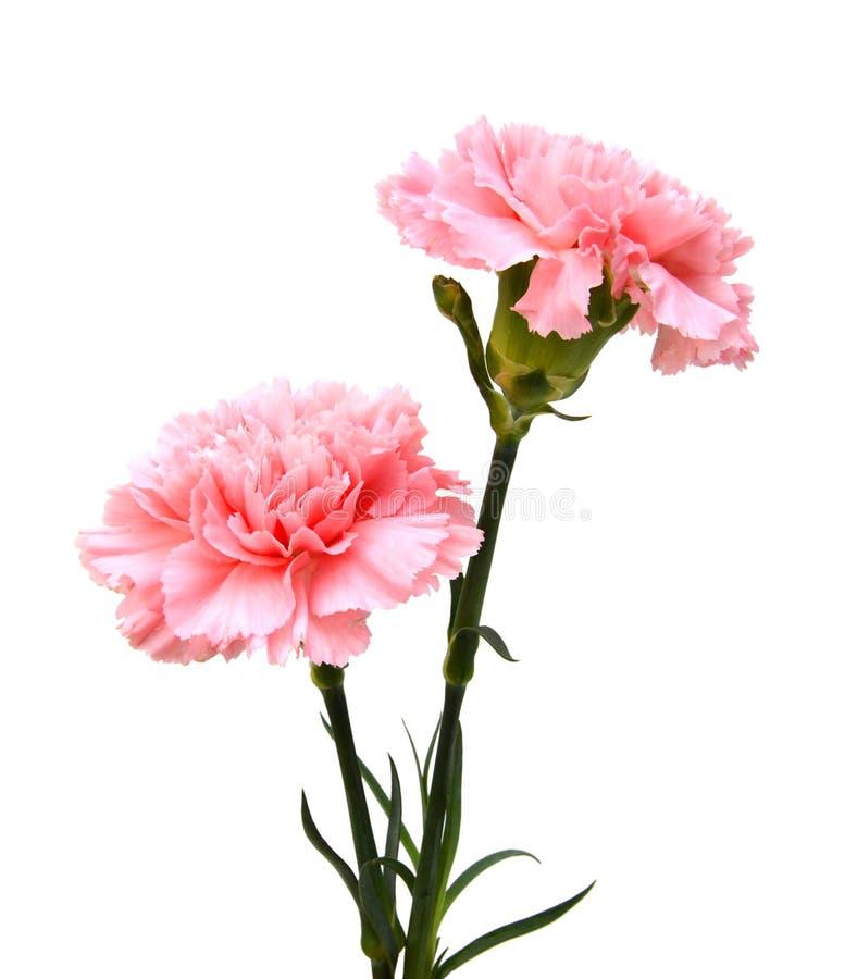 Fleur rose d'oeillets image libre de droits