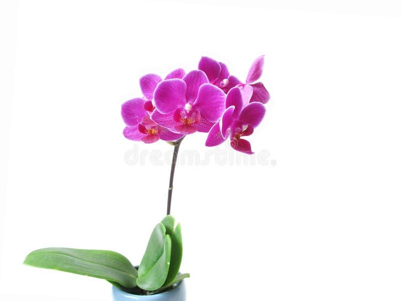 Fleur rose d'orchidée photographie stock