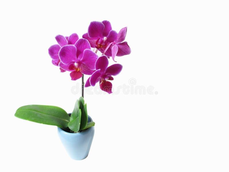 Fleur rose d'orchidée image stock