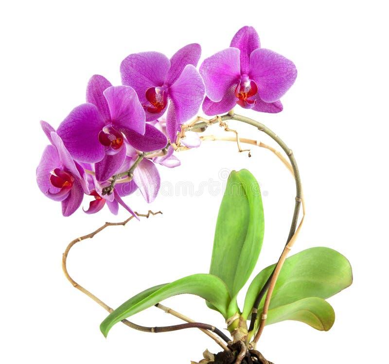 Download Fleur Rose D'orchidée Avec Les Feuilles Vertes Photo stock - Image du ressort, lame: 76080238