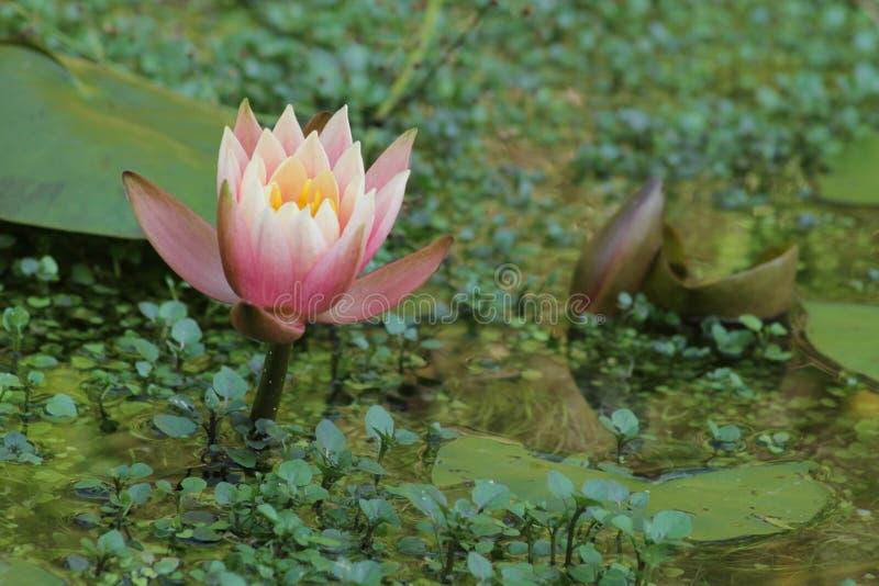Fleur rose dans l'eau photographie stock