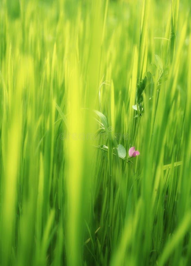 Fleur rose dans l'herbe verte image libre de droits