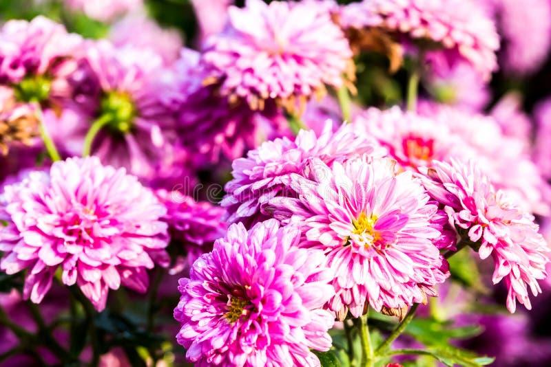 Fleur rose dans la province Thaïlande de chiangmai photographie stock