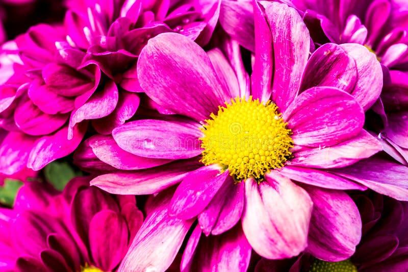 Fleur rose dans la province Thaïlande de chiangmai images stock