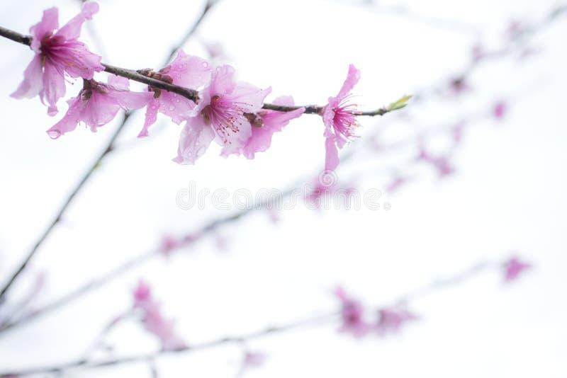 Fleur rose dans le blanc images stock