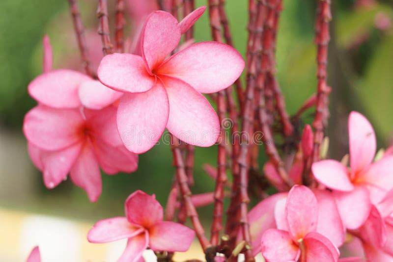 Fleur rose dans le jardin images stock