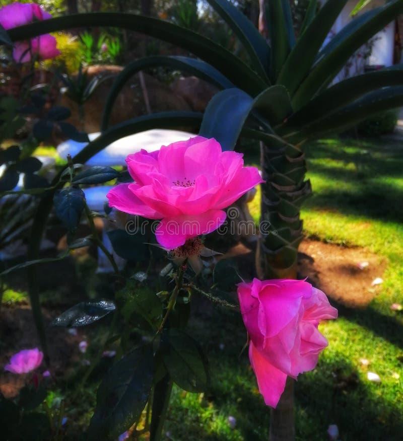 Fleur rose dans le jardin botanique photo libre de droits